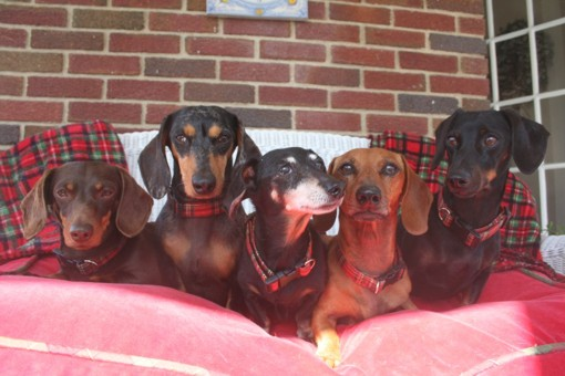 Dachshunds in Plaid Collars